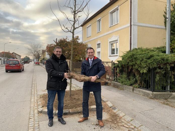 Bgm. Alexander Vojta und VBgm. Dietmar Ruf besichtigen die Baumscheiben-Vergrößerungen und den neu gepflanzten Baum in der Stammersdorfer Straße. Bild: Gemeinde Gerasdorf.