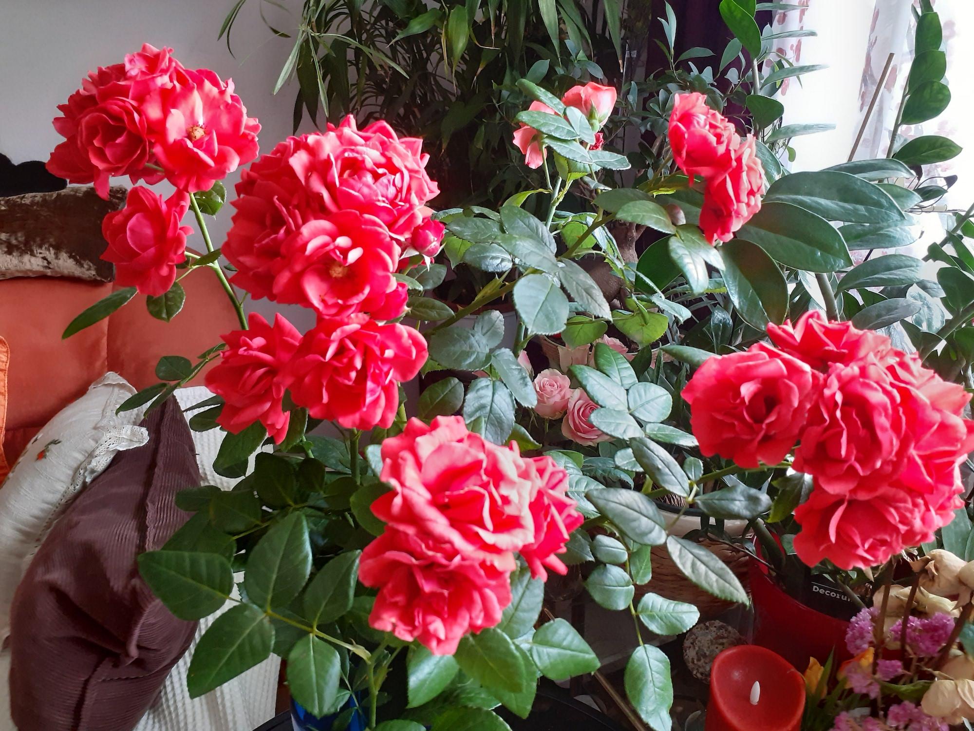 Gerettete Rosenblüten in der Wohnung von Frau Bösz. Bild: Privat.