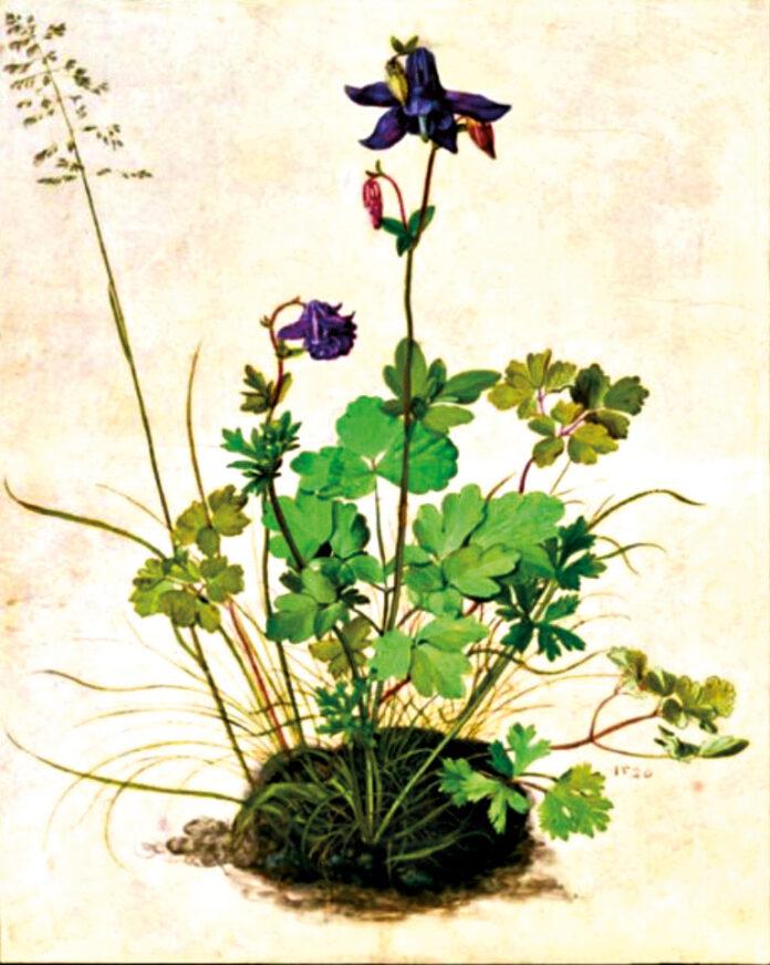 Blumenstudie einer Akelei (Aquilegia vuglaris) von Albrecht Dürer.Aquarell aufPergament, 1526. Bild: Ulmer.