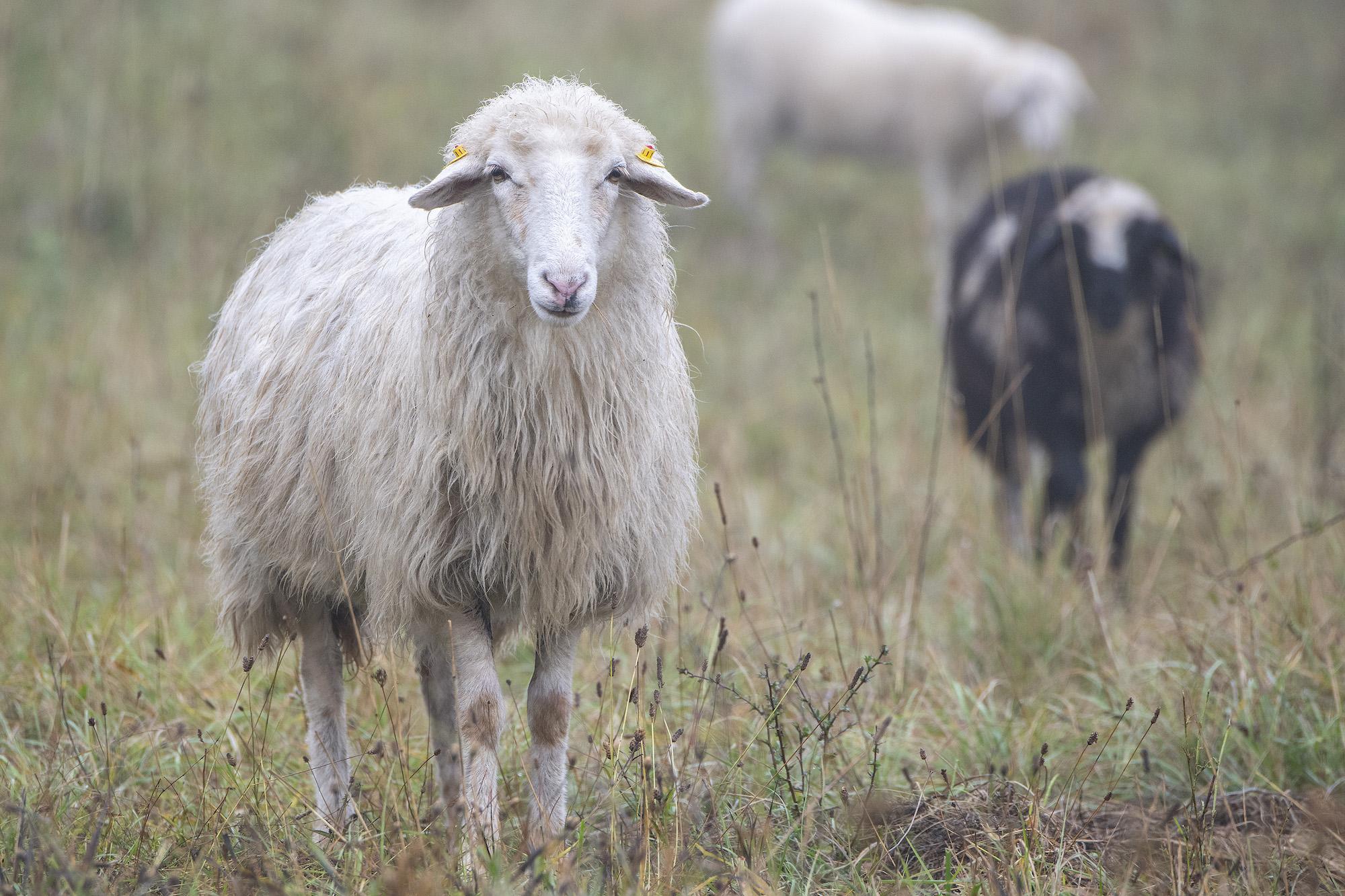 Insel-Schafe beenden ihre Mäh-Saison auf der Donauinsel. Bild: MA45/WIENER WILDNIS.
