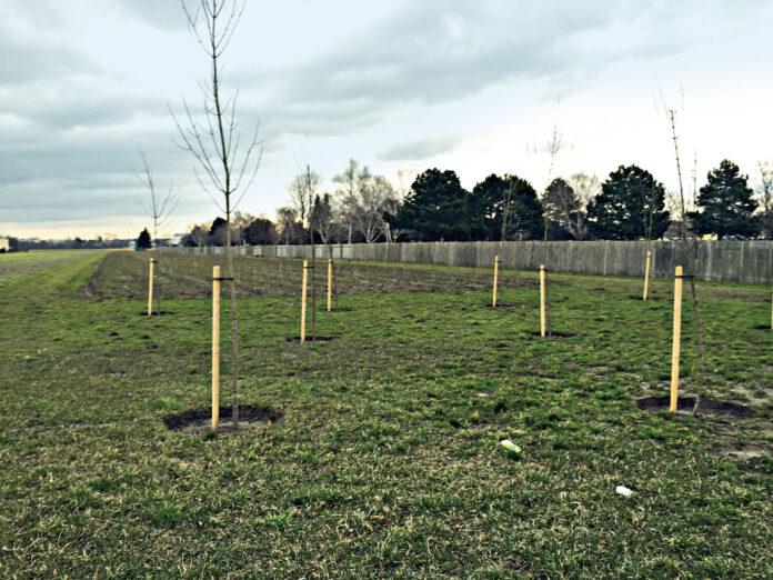 Ersatzpflanzung im großen Stil: An der Brünner Straße wurde die als Wald geltende Fläche für eine Schule abgeholzt. Dafür wurden hier ein Dutzend Bäume und viele Sträucher gesetzt.. Bild: DFZ.