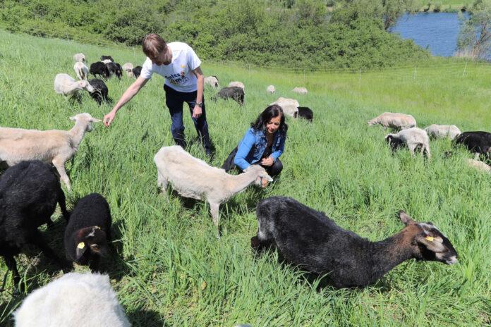 Umweltstadträtin Ulli Sima und Gerald Loew, Leiter der Fachabteilung MA 45 – Wiener Gewässer präsentieren 50 Schafe als umweltschonende Rasenmäher auf Donauinsel. Copyright: PID/Christian Fürthner.
